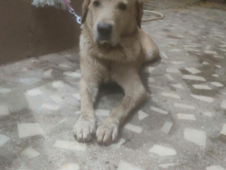 Golden Retriever in Trimulgherry near SBI Colony