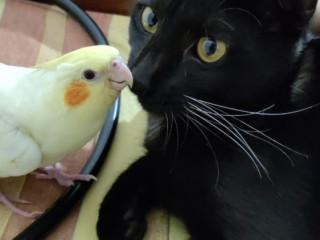 Yellow Cockatiel Lost - Name : Cashew