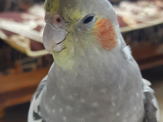Missing grey colour cockatiel 11 months old from whitefield bangalore from 16/07/2021