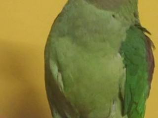 Parrot Alexandrian Parakeet ( Pahadi Total)