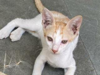 LOST INDIAN CAT