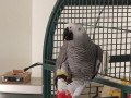 missing-sunny-african-grey-parrot-small-0
