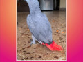 pepper-grey-parrot-missing-small-0