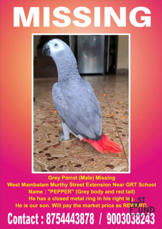 pepper-grey-parrot-missing-big-0