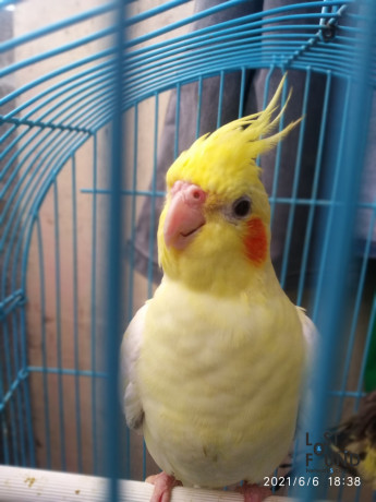 please-help-me-my-bird-lost-cocktail-bird-he-is-colour-creamy-white-and-yellow-please-help-me-if-anyone-got-it-so-please-contact-on-me-big-1