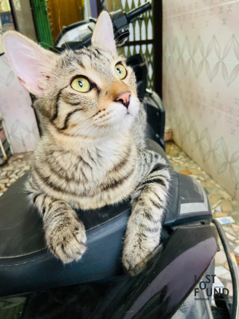 black-with-grey-cat-missing-10-months-old-vellore-big-0