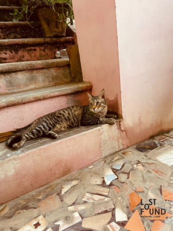 black-with-grey-cat-missing-10-months-old-vellore-big-1