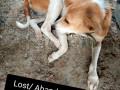 lost-dog-pallavaram-small-0