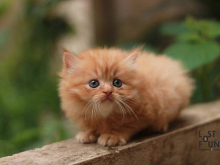 Golden Persian Cat with 4 legs and two ears