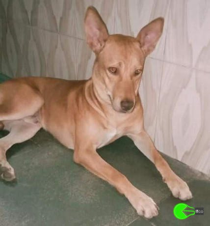pet-missing-from-govandi-big-0